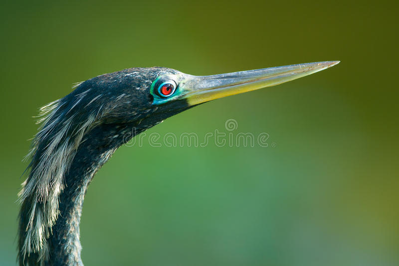 Download Bird With Long Beak Or Bill Royalty Free Stock Photography - Image: 25825647