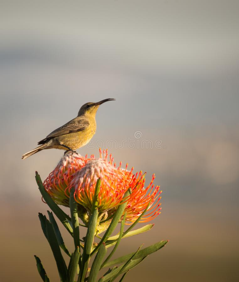 Sugarbird Hummingbird sitting on the endemic fynbos Pincushion protea flower in the western cape, Cape Town, South Africa. stock photography