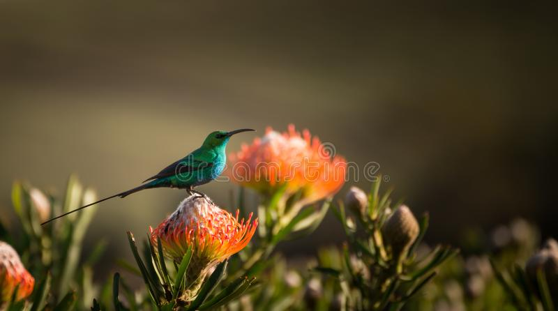 Sugarbird Hummingbird sitting on the endemic fynbos Pincushion protea flower in the western cape, Cape Town, South Africa. royalty free stock photos
