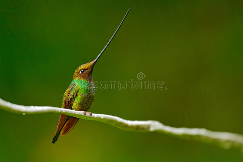 Download Bird With Longest Beak. Sword-billed Hummingbird, Ensifera Ensifera, Bird With Unbelievable Longest Bill, Nature Forest Habitat, E Stock Photo - Image of animal, beautiful: 97624482