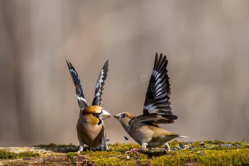 Bird, love, nature , wildlife , wild , fight , color, summer , animals royalty free stock image