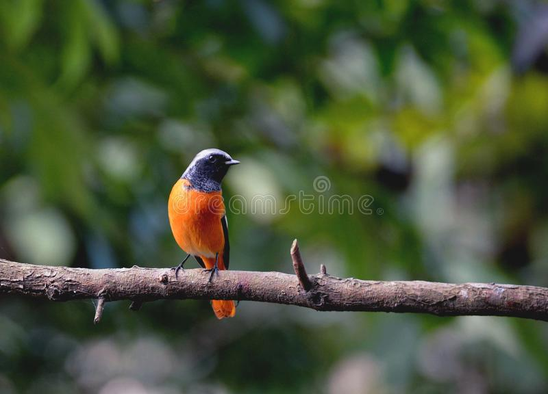 a bird that loves to show off royalty free stock image