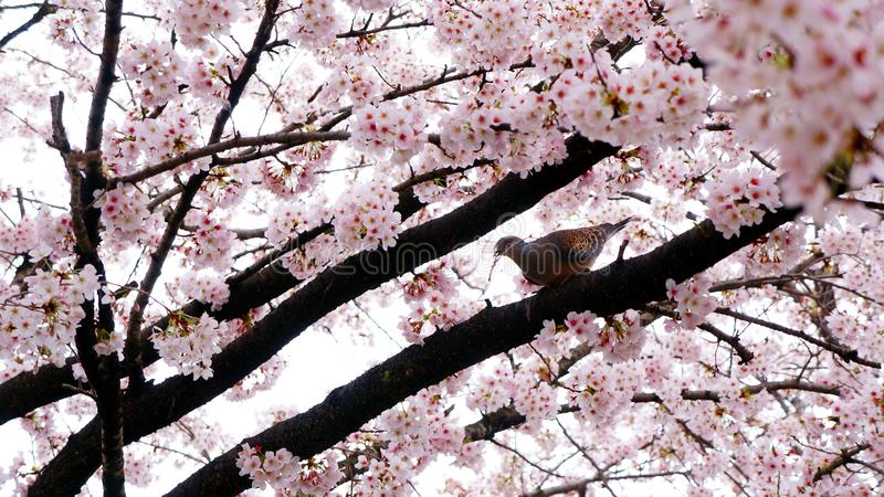 A bird is making a nest surrounding by cherry blossom stock image