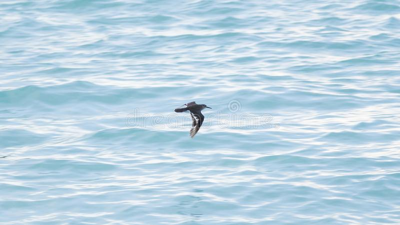 A bird in the Maldives is moving very fast and close to the water for fish. Colorful and beautifull, this is a paradise for wildlife royalty free stock images