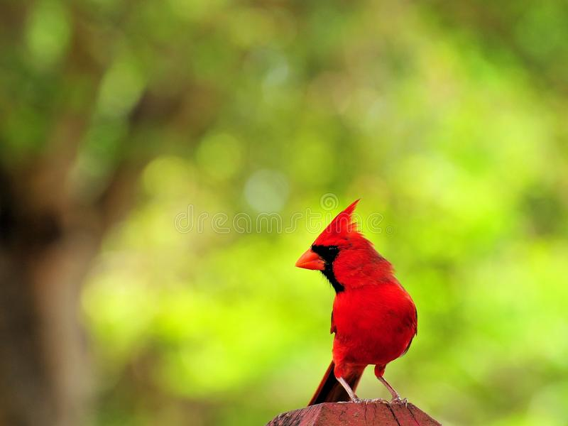 Bird, male Northern Cardinal looking away royalty free stock image