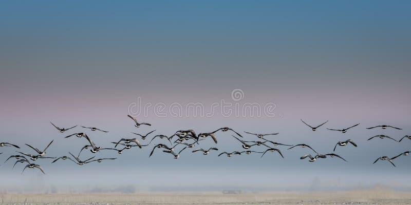 Bird migration royalty free stock photos