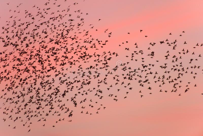Bird migration at sunset. stock photos