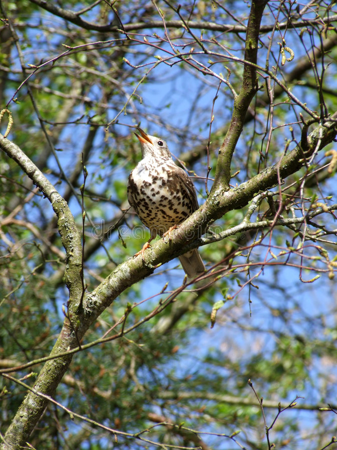 Free Bird (mistlethrush) In Tree Royalty Free Stock Photos - 5374958
