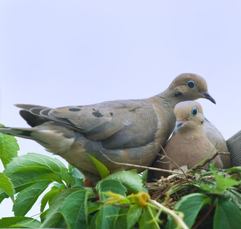 Bird-Mourning doves(zenaida macroura)