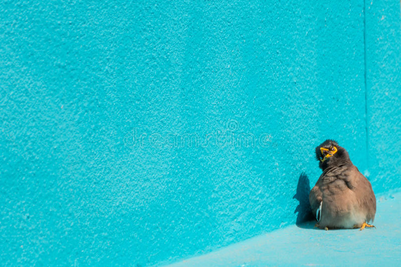 Bird Mynas or Sturnidae emotional shock. Perched on a floor and wall blue color stock images