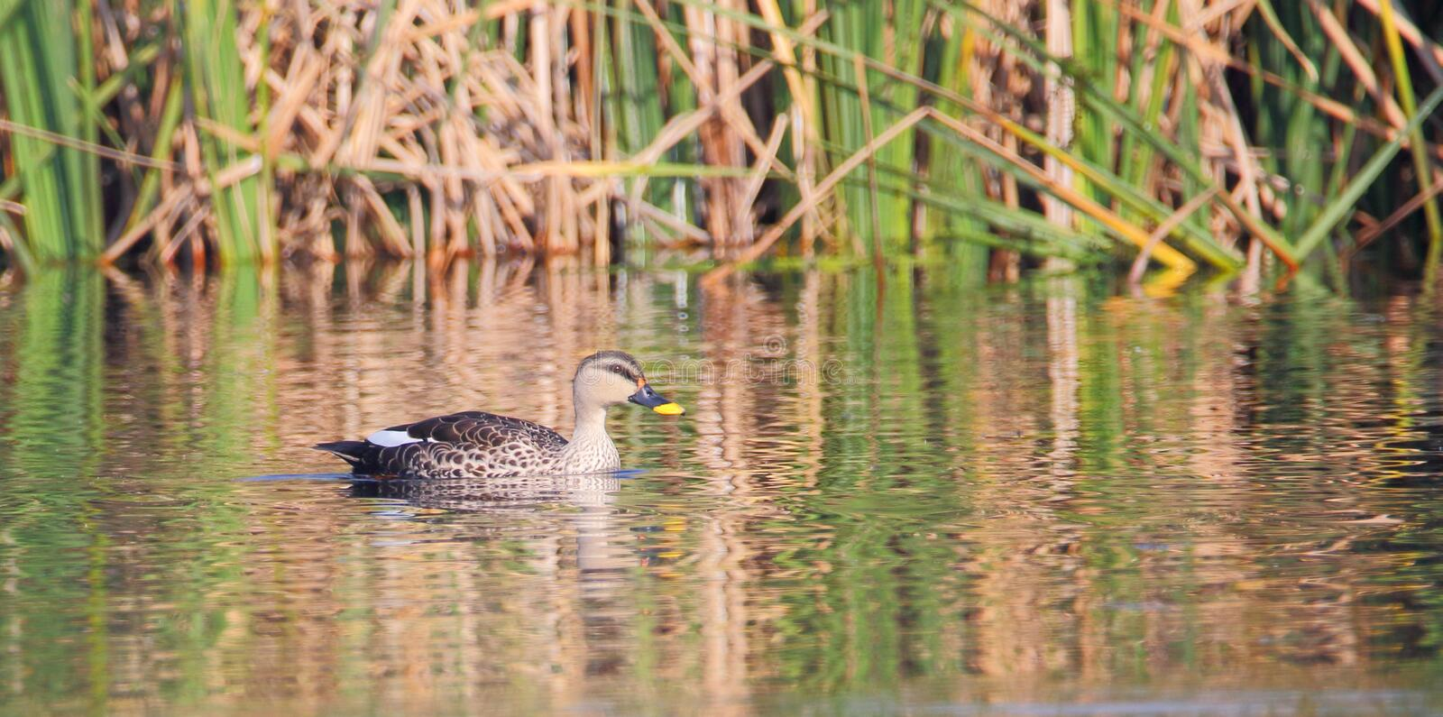 Bird in natures lap. Single spot bill duck swimming in the water of pond. the shadows of grass in the water looked beautiful royalty free stock photo