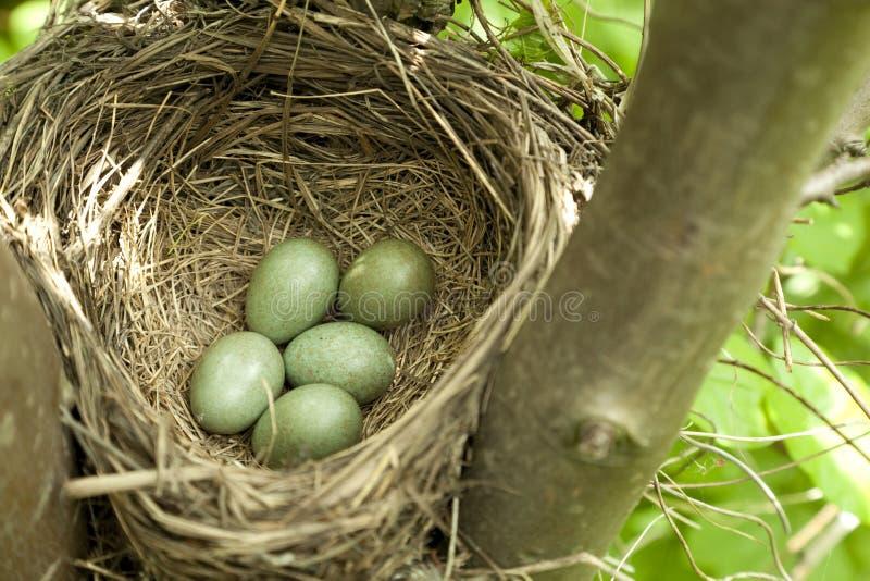 Download Bird nest stock image. Image of blackbird, nest, green - 25305583