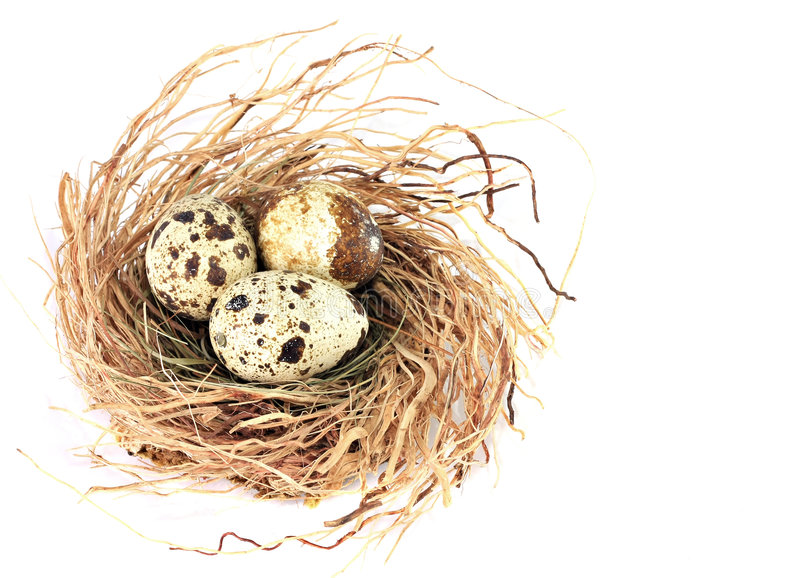 Bird nest. Quail nest with three spotted eggs on white stock images