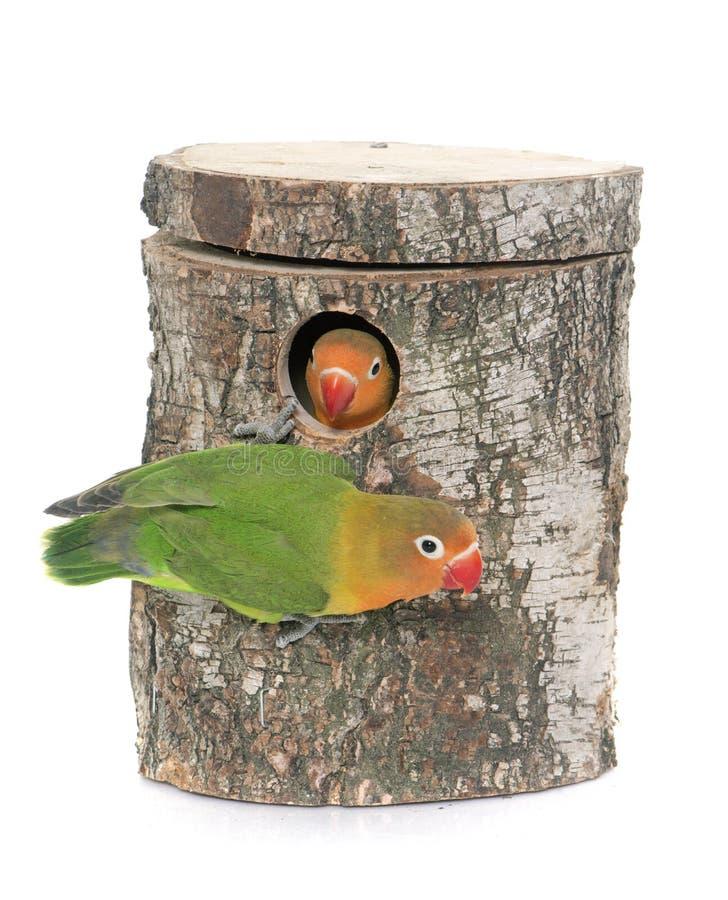 Bird nest box and lovebird stock photo