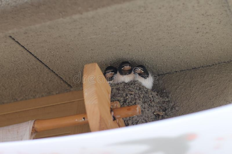 Bird Nest Cute Baby Chick Jay Sparrow Adorable Birb Kawaii Building immagini stock libere da diritti