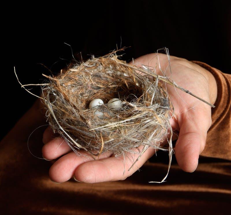Bird Nest with Eggs in Hand stock photo