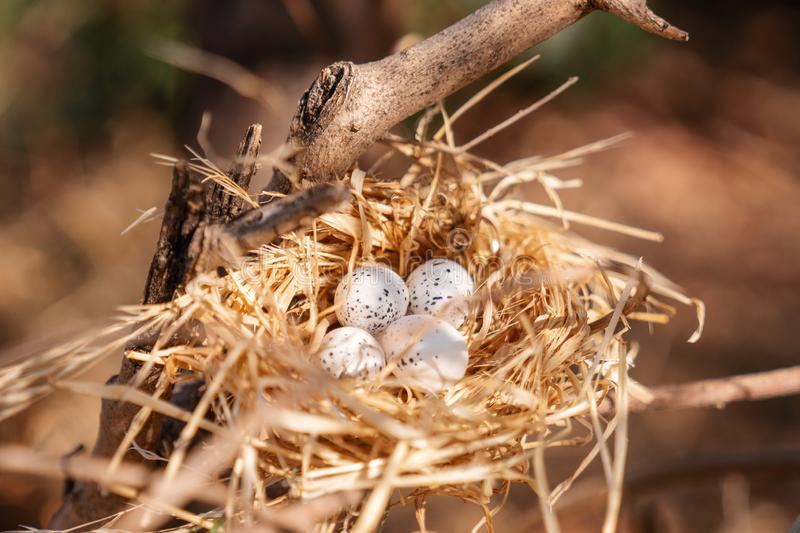Bird nest with eggs on a tree, in the beautiful nature royalty free stock image