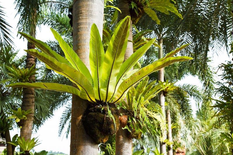 Bird nest fern. On tree royalty free stock photos