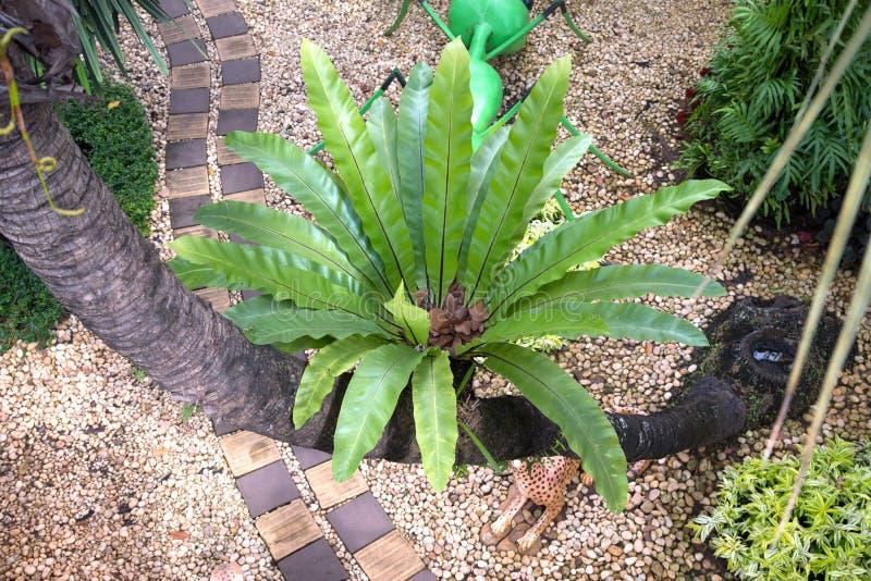 Bird nest fern, tropical fern growth on tree stock photography