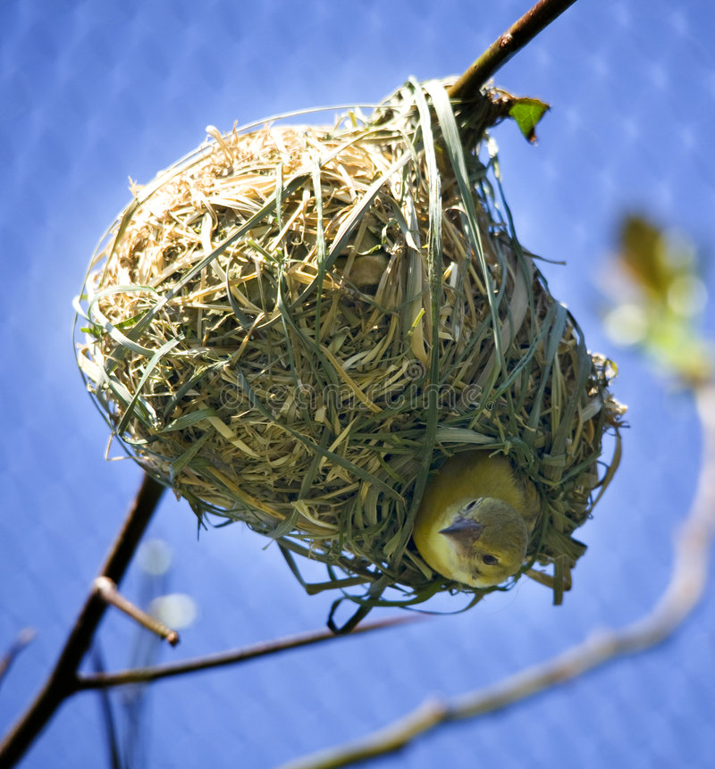 Bird in Nest Looking Down royalty free stock images
