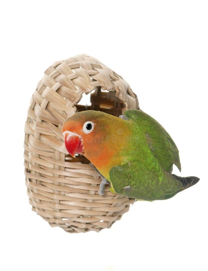 Bird nest and lovebird royalty free stock photography