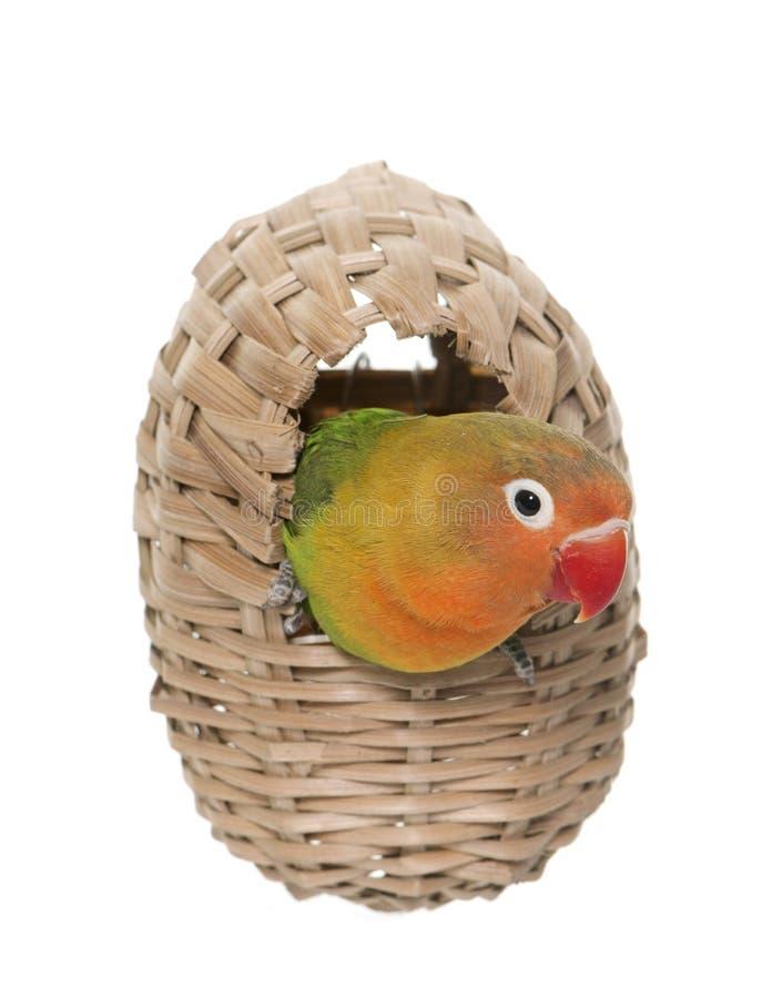 Bird nest and lovebird royalty free stock image