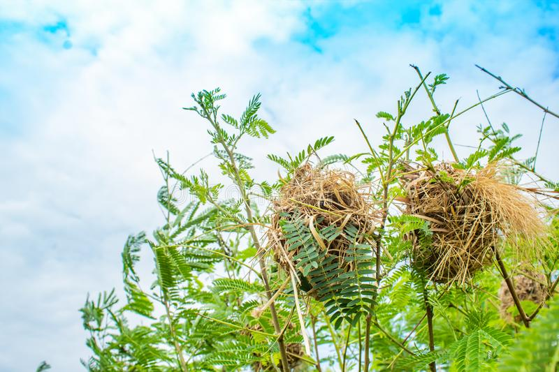 Bird nest made of grass on trees. royalty free stock image
