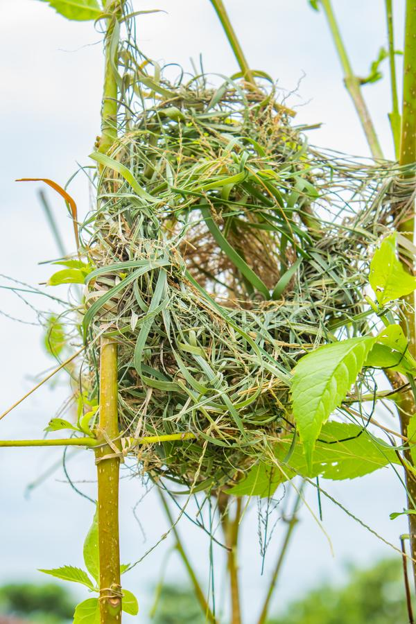 Bird nest made of grass on trees. stock image