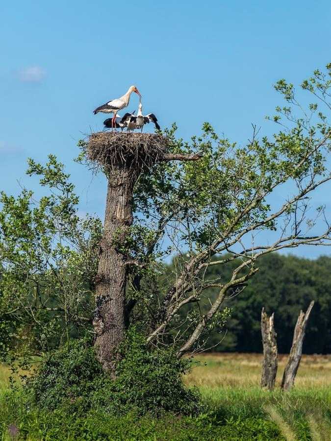 Stork is nursing on high level royalty free stock photos