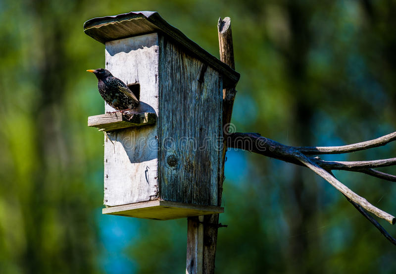 Bird and nesting box. Sturnus vulgaris, starling and nesting box. green foliage background stock image
