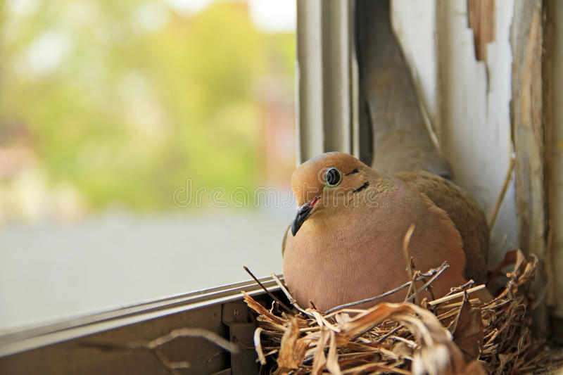 Bird nesting on window sill. Mourning dove bird nesting on a window sill stock photo