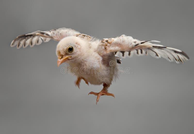 Bird. Nestling bird fly, on grey background stock images