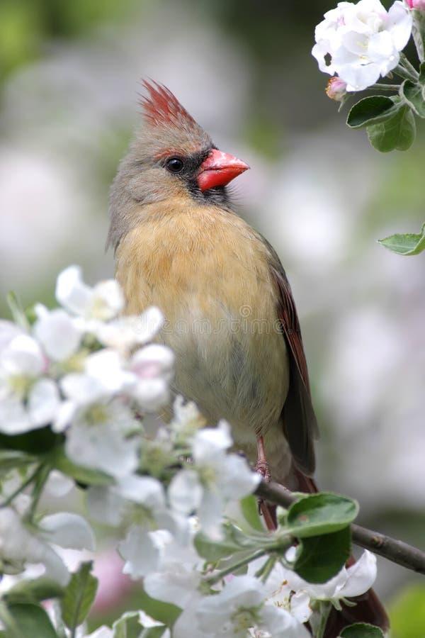Bird - Northern Cardinal. Bird - Female Northern Cardinal (cardinalis cardinalis) in an Apple Tree with blossoms royalty free stock photo