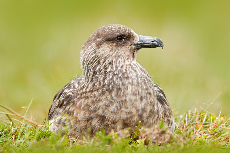 Bird from Norway. Brown skua, Catharacta antarctica, water bird sitting in the autumn grass, evening light. Detail portrait of sea stock image