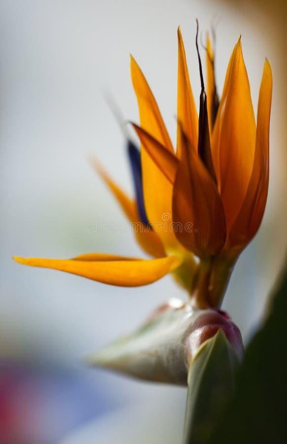 Free Bird Of Paradise Stock Images - 11075464