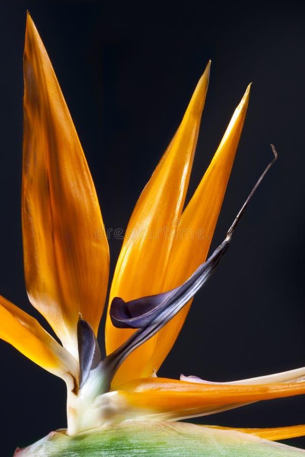 Free Bird Of Paradise Flower Stock Photography - 16889742