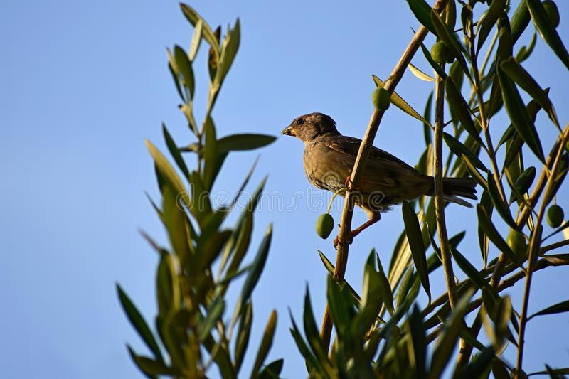 Bird in olive grove over blue sky. Bird in olive grove. Animal - bird royalty free stock images