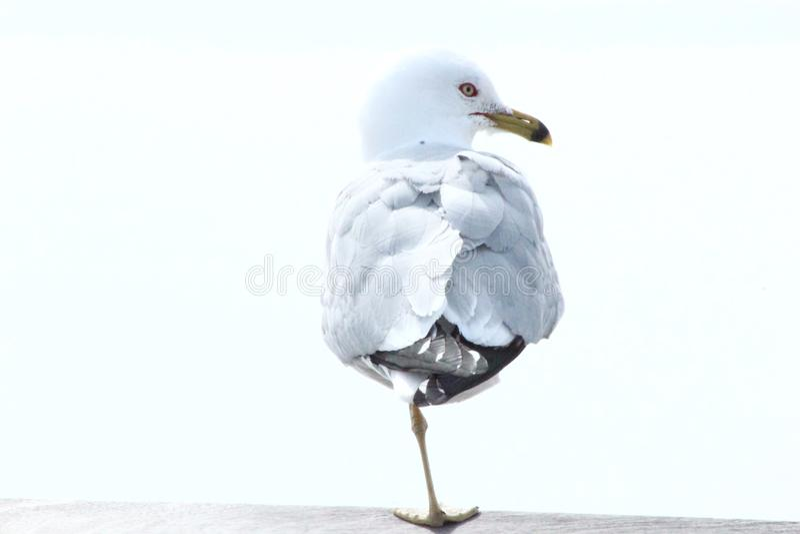 Bird with one feet stock photos