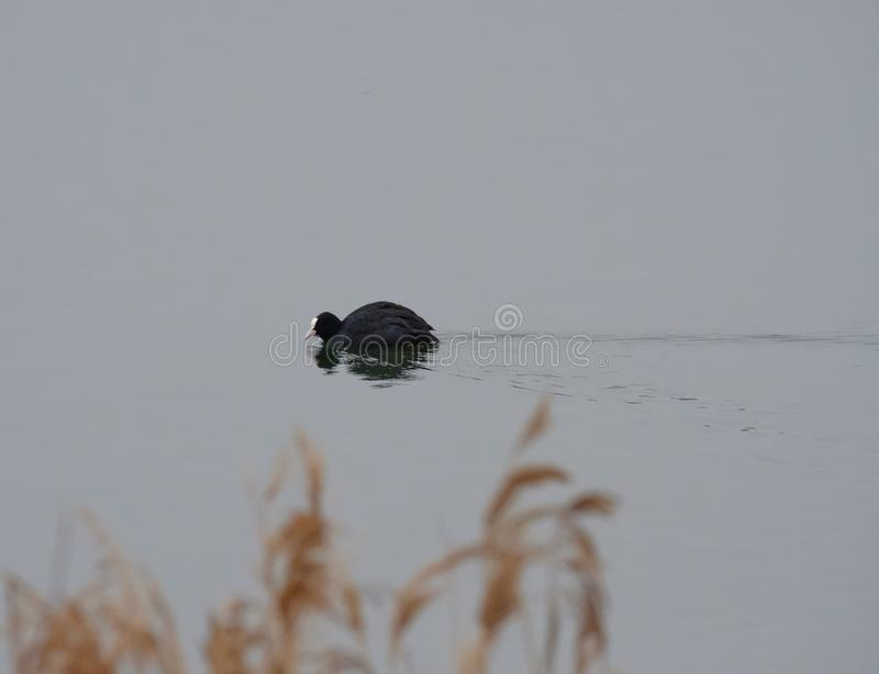 Coot bird seen paddling quickly on a river at a nature reserve. The bird, one of a large number of Coots on this large expanse of water which was a former royalty free stock photos