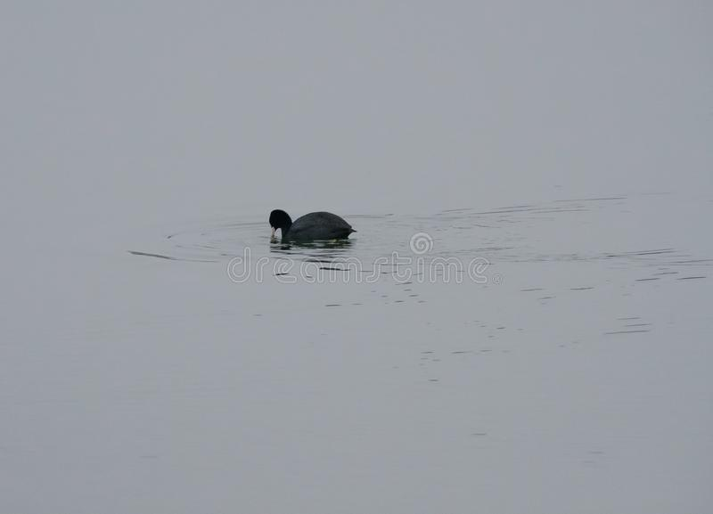 Coot bird seen paddling quickly on a river at a nature reserve. The bird, one of a large number of Coots on this large expanse of water which was a former royalty free stock photography