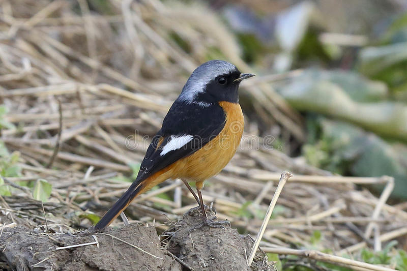 A bird orange black white feathers. A bird stay in soil and weeds stock photography