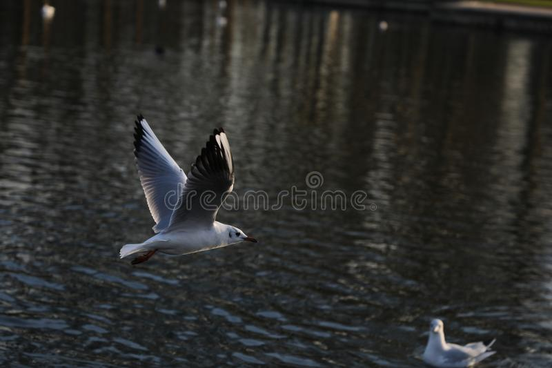 Bird over versailles lake palace royalty free stock images