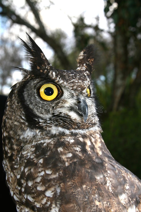 Bird Owl royalty free stock photography