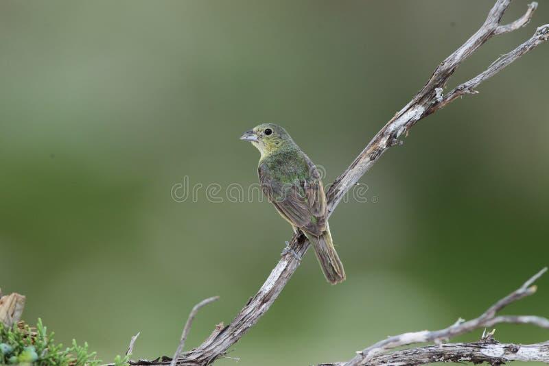 Bird. Green bunting stock image