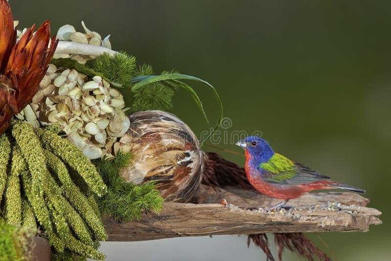 Bird. Painted bunting bird royalty free stock photos