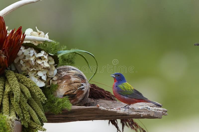 Bird. Painted bunting male stock photo