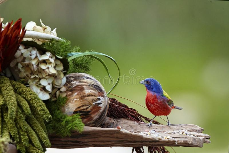 Bird. Painted bunting bird male colorful wildlife nature stock photography