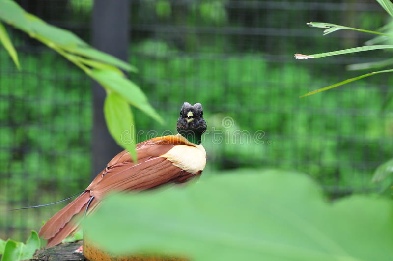 Bird of paradise. The birds-of-paradise are members of the family Paradisaeidae of the order Passeriformes. The majority of species in this family are found on stock images