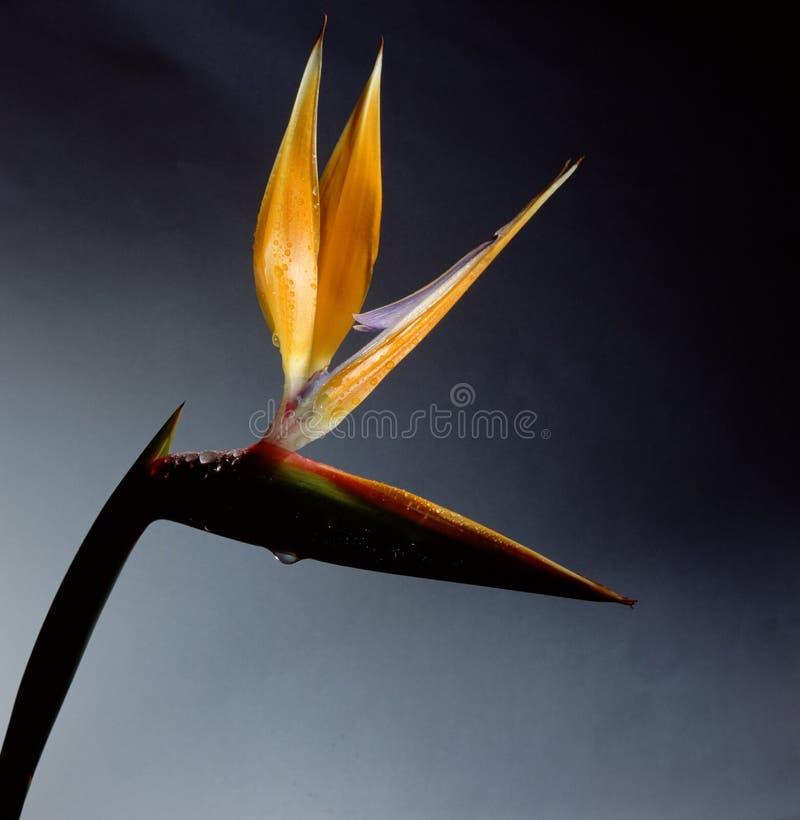 Bird of paradise stock image
