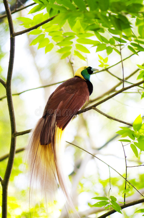 Bird Of Paradise. Lesser Bird of Paradise or Paradisaea minor. One Of the most exotic birds in Papua New Guinea